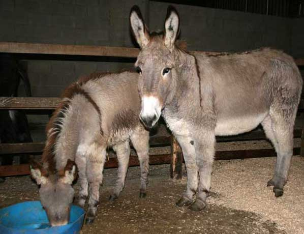 Rescued donkeys from France